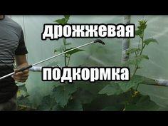 Удобрение для томатов, огурцов, и других овощей. Подкормка на основе дрожжей. | ДАЧНЫЕ ОТВЕТЫ | Постила