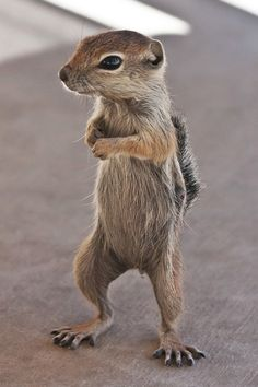 (by James Marvin Phelps) Antelope Ground Squirrel