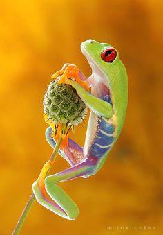 Red-eyed tree frog by Artur Celes via Pixdaus