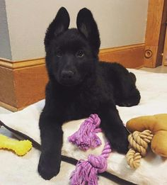 Black german shepard pup