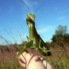 "Praying Mantis can be very tame, yet they are aloof in nature. Some people have kept them as pets...creepy.  Reminds me of that Porno for Pyros song ""Pets"" http://kerryg.hubpages.com/hub/praying-mantis-care"