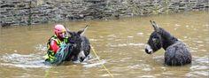 """26 déc. 2013 """"Bon-Repos. Les pompiers sauvent deux ânes. En tenue de plongée, Floran Le Bourg, pompier, a réussi à s'approcher des ânes avec précautions."""" Mardi, en fin de matinée, les pompiers de Mûr-de-Bretagne sont intervenus à Bon-Repos, pour sauver deux ânes coincés dans la prairie face à l'abbaye, submergée par la montée des eaux du Daoulas et du canal de Nantes à Brest. Los bomberos rescatan a dos burros -  Firefighters save two donkeys. Courtesie: Le Télégramme. Brest, Bretagne…"""