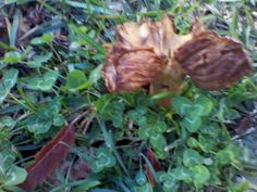 mushroom in park in Claremont no. 3 - 19.08.2013