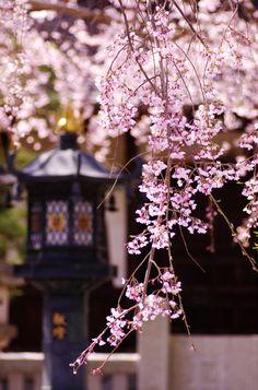 Kanagawa pref Must-see gardens in Kamakura Beautiful Images, Beautiful Flowers, Japanese Culture, Japanese Art, Blossom Trees, Cherry Blossoms, Kamakura, Spring Blossom, Arte Floral