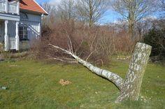 Et af birketræerne i haven var blevet for stor og måtte fældes. I efteråret 1997 havde jeg hentet flere birketæer hos en kollega ved Tjele Langsø og transporterede dem bag i bilen. Birketræet faldt meget perfekt på græsplænen til yderlig partering. Af de 3 oprindelige birketræer er der stadig en tilbage og lyser smukt op i haven.