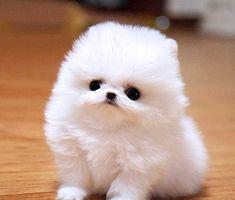 Teacup Pomeranian...can you say cute??