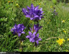 Image result for clustered bellflower