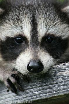 Baby raccoon | Flickr - Photo Sharing!