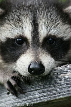 Baby raccoon | Flickr - Photo Sharing!