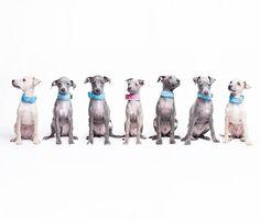 #awesomepictures #italiansighthound #italiangreyhound #iggy #sighthound #italienischeswindspiel