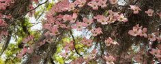 Southern Pink Dogwoods
