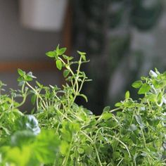 Tuoreita yrttejä tulee usein ostettua kukkakimpun sijaan  #home #homedecor #myhome #herbs #yrtit #timjami #thyme #keittiö #kitchen #kitcheninspo #instahome #inspiration #interior #inredning #sisustus