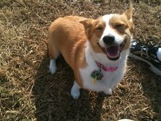 Bloody corgis and their happiness.