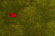 Red leaf on the green | Saihou-ji
