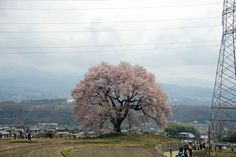 full bloom of big cerry blossom  Yamanashi Japan