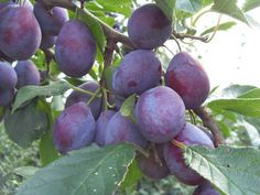 Die Pflaumen aka Zwetschgen of the typical dark purple, oval German variety are seasonal fruit and their time is now. They're really tasty and are often found in cakes and jams, but in some other things, too. 2,631 plum recipes. :)