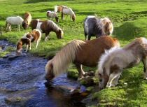 The Shetland ponies in their natural habitat often roam free over the hills. The cliffs, sand, and shingle beaches make natural restrictions and there are few roads.