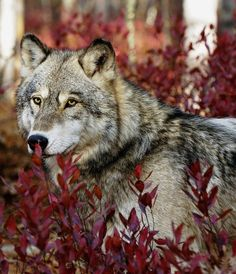wolf, seen only once