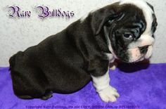 65 Best Available AKC Rare Color English Bulldog Babies