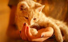 Download imagens ginger cat, animal de estimação em casa, mãos, animais fofos, gato peludo, Ruiva gato