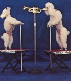 LoL - still looking for line dancing poodles