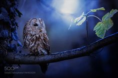 Tawny owl by AnneLiese1 #animals #animal #pet #pets #animales #animallovers #photooftheday #amazing #picoftheday