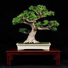 A Shishigashira Japanese Maple by William N. Valavanis.  www.bonsaiempire.com - Feel free to share! #bonsai