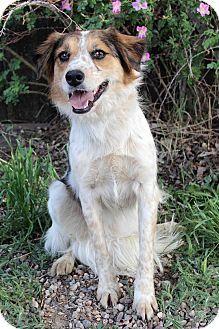 Westminster, CO - Australian Shepherd/Retriever (Unknown Type) Mix. Meet SUZETTE, a dog for adoption. http://www.adoptapet.com/pet/15758690-westminster-colorado-australian-shepherd-mix
