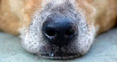 Dog Has a Runny Nose? 5 Things You Can Do-Dog Has a Runny Nose? 5 Things You Can Do If you find yourself asking, my dog has a runny nose and I don't know why, here are some potential reasons, plus five ways to solve this problem. Dog Nose, Cough Medicine For Dogs, Dog Coughing, Dog Died, Dental Problems, Black Lab Puppies, Dog Safety, Dog Shedding