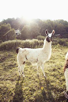"This cute llama mug is great for all awkward nerds who love unicorns and llamas and are ""majestically awkward!"" This unicorn mug is perfect for fans of llama  Find and save ideas about Llamas on Pinterest. | See more ideas about Cute llama, Llama pictures and Pics of llamas."