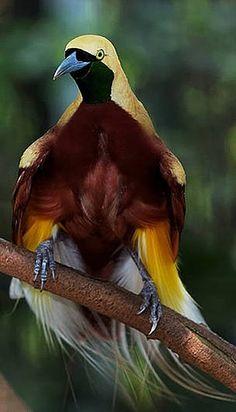 Le Paradisier grand-émeraude (Paradisaea apoda) est la plus grande espèce de paradisier. Il vit dans les forêts du sud-ouest de la Nouvelle-Guinée, des îles Aru et d'Indonésie