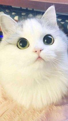 Kucing meong yang lucu dan imut Little Kittens, Kittens Cutest, Cats And Kittens, Kitty Cats, Tame Animals, Animals And Pets, I Love Cats, Cute Cats, Anime Art Girl