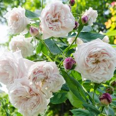 Comtesse de Rocquigny via Hedgerow Rose