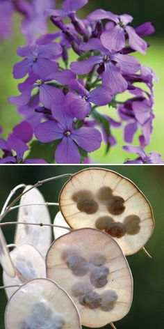 Lunaria attracts butterflies with its rich nectar... and gardeners with its gorgeous blooms and papery seed pods. #flowersforbutterflies