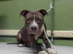 GONE --- #A4827152 My name is Rocky and I'm an approximately 11 month old male pit bull. I am not yet neutered. I have been at the Carson Animal Care Center since May 6, 2015. I am available on May 6, 2015. You can visit me at my temporary home at C134.   Carson Shelter, Gardena, California. https://www.facebook.com/171850219654287/photos/pb.171850219654287.-2207520000.1431472150./405895232916450/?type=3&theater