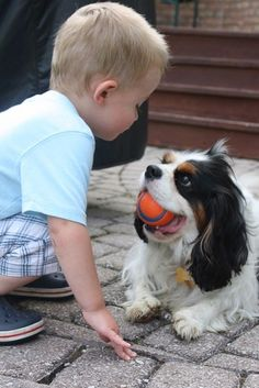 I think this little boy is trying to get the ball from the Cavalier.  Doesn't look like the Cavalier is ready to give it up.  #puppied