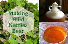 Making Wild Nettles Beer Recipe » The Homestead Survival