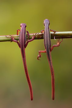 two lizzard by iwan pruvic on 500px