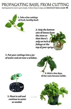 grow basil from clippings. Make sure you keep pinching off the flower heads so that the plant will keep throwing out new leaves all season