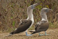 72 Seconds With Blue-Footed Boobies on Ecuador's Isla de la Plata, or the 'Poor Man's Galapagos' from PIRAN CAFÉ