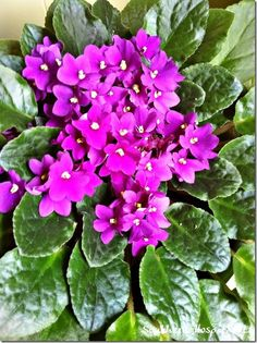 African Violets - Southern Hospitality