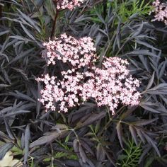Black Lace has dramatic, almost black, dissected foliage and produces beautiful creamy pink buds and flowers from May to June, with flower clusters measuring 15cm in diameter. These are followed by blackish red berries during autunm. This is an excep