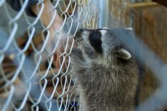 This orphaned raccoon reaches up to the volunteer who is raising it along with four others until they are mature enough to be released into the wild.