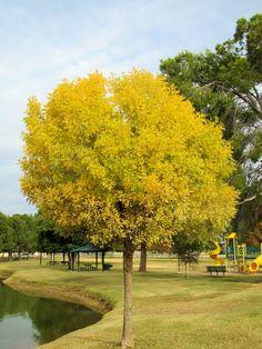 Fall colors. Chandler, AZ Ash Tree, Arizona, Sidewalk, Country Roads, City, Fall, Colors, Autumn, Fall Season
