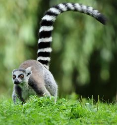 It would appear that Mr Lemur really does like to move it move it