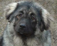 ... breeds dog breeds working guardian dog caucasian caucasian ovcharka 54