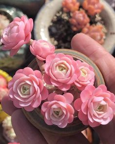 best ideas for pink succulent cactus flower Pink Succulent, Cacti And Succulents, Planting Succulents, Cactus Plants, Garden Plants, House Plants, Planting Flowers, Air Plants, Succulents Painting