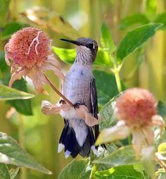 drBucketList - Black chinned hummingbird