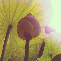 lotus Lotus, Cake, Garden, Desserts, Food, Tailgate Desserts, Lotus Flower, Deserts, Mudpie