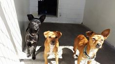 ADOPTED 4/26 These 3 girls are super cute and super scared. Please take a look at them and SHARE, they all need some help and a FOSTER would save their lives. Thanks! #A4819133 I'm an approximately 2 year old female chihuahu #A4819334 I'm an approximately 2 year old female chihuahua #A4819335 **PUPPY ALERT** I'm an approximately 5 month old female chihuahua Carson Shelter, Gardena, California